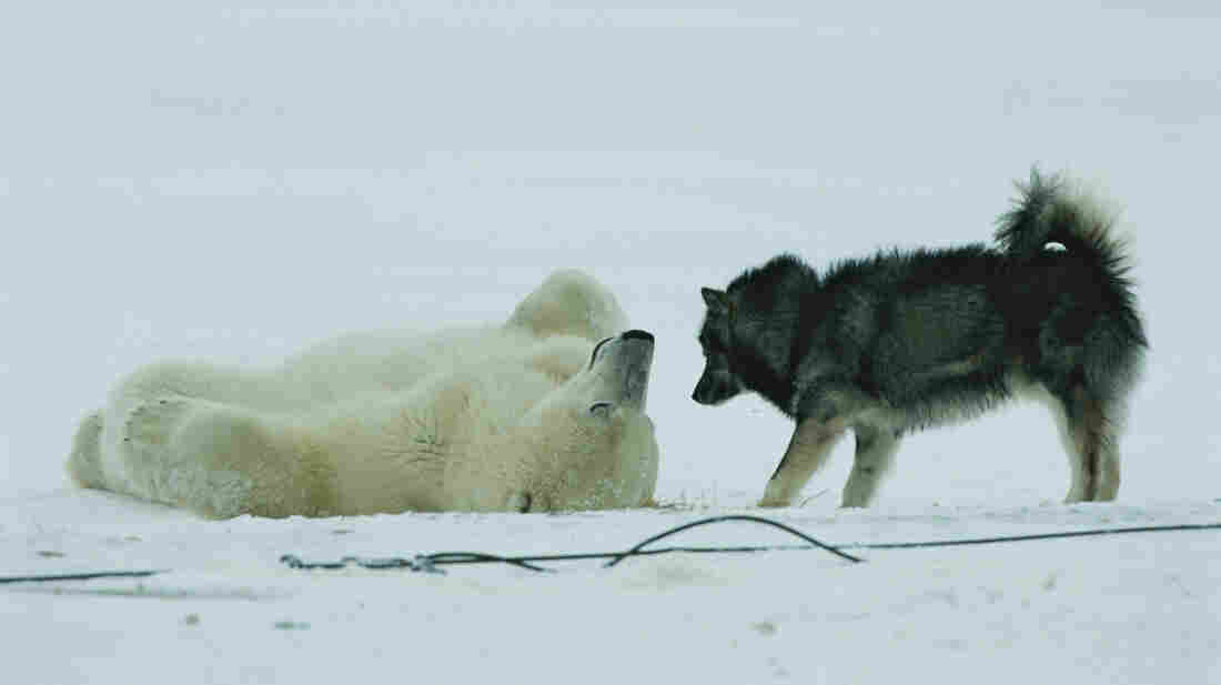 A polar bear rolls around on his back while a husky looks on.