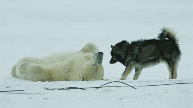 A polar bear rolls around on his back while a husky looks on.