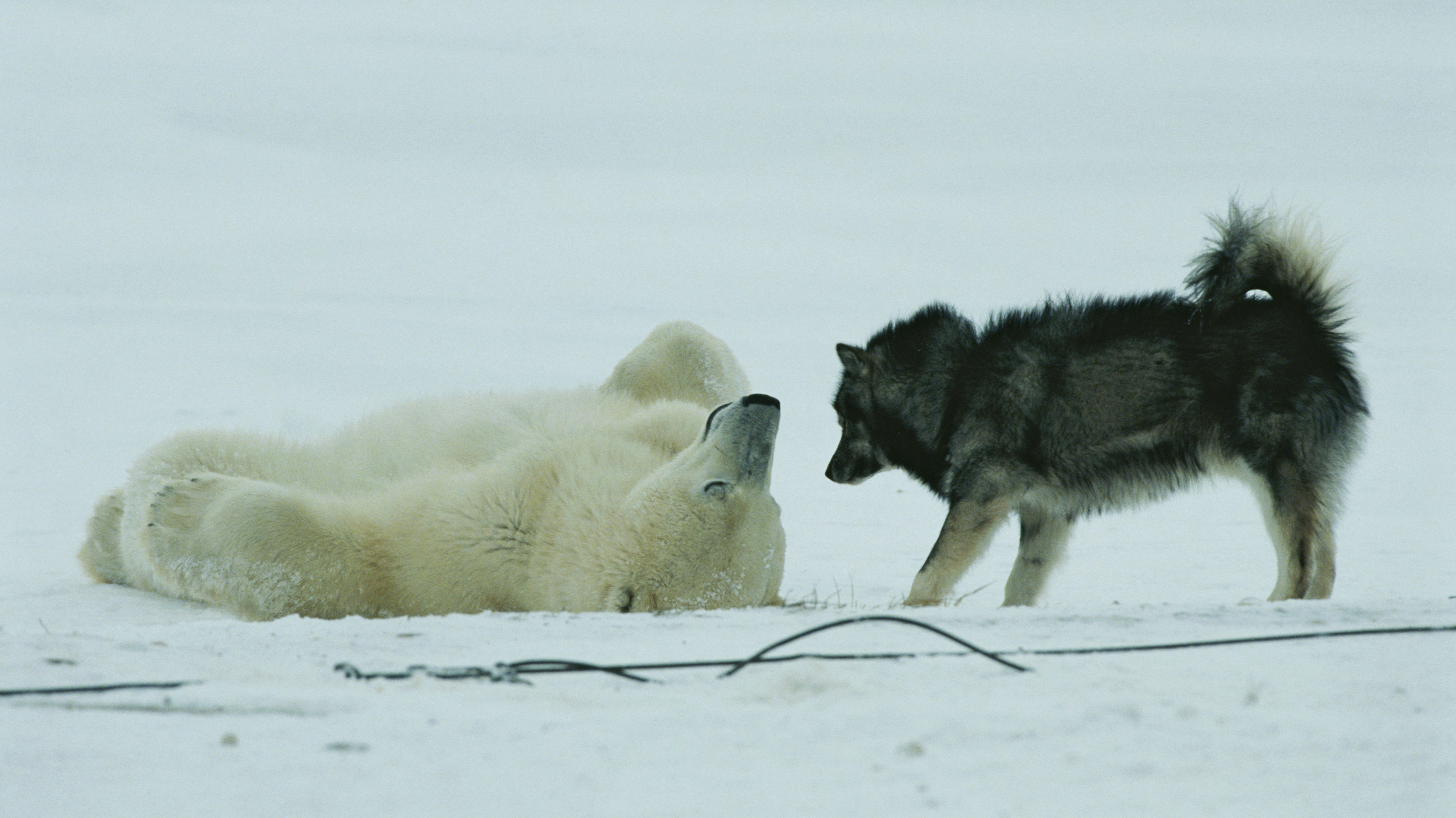 Polar Bear Flip-Flop: People Hated, Then Loved These Photos. What Changed?