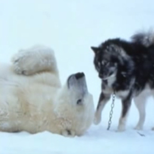 A polar bear rolling around with a husky.