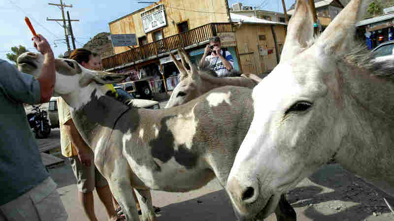 In Oatman, Ariz., burros are likely to nuzzle with tourists and are notoriously difficult to move out of harm's way.