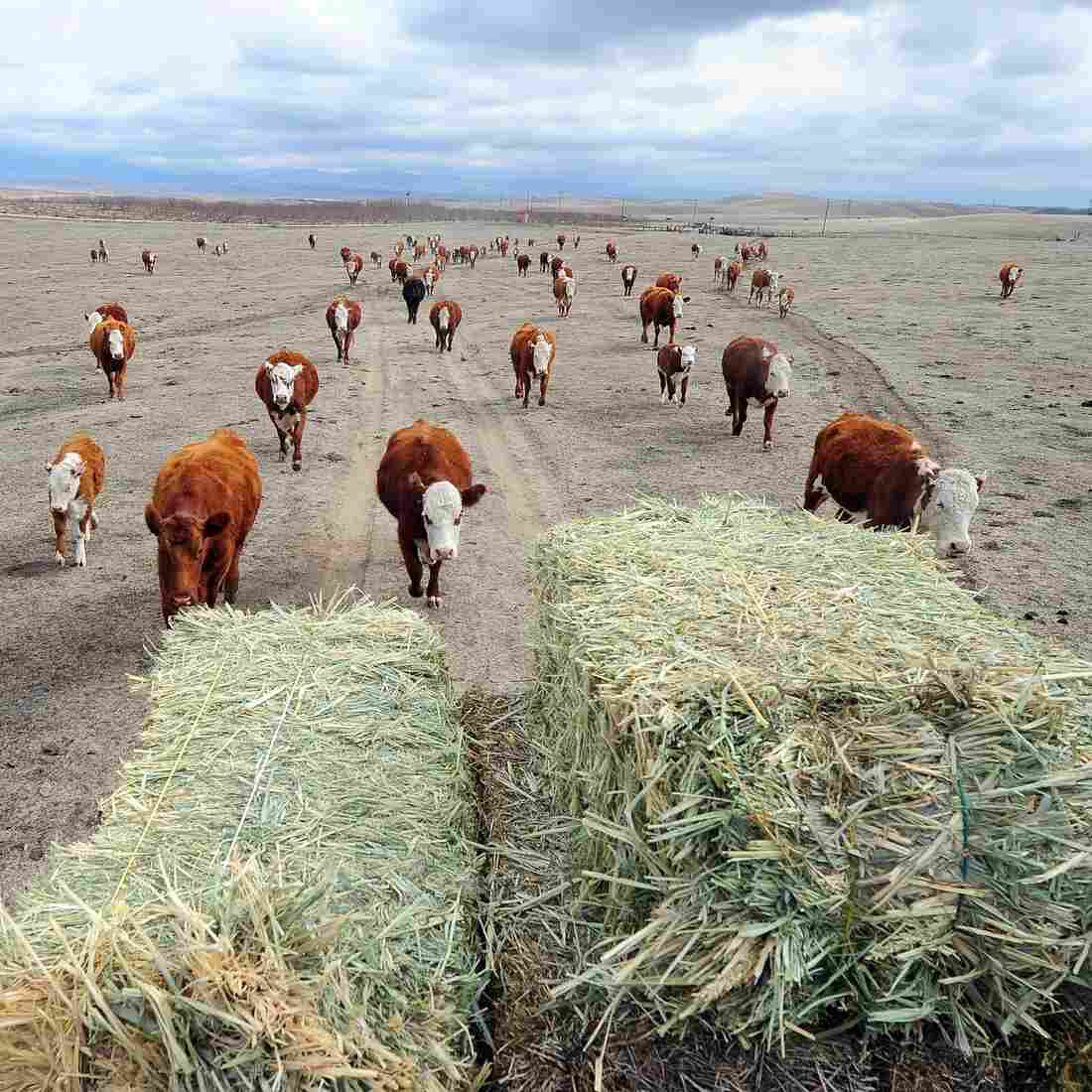 Even In A Desert, Drought Spells Trouble For Ranchers