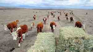 No snowpack, no hay: In the northern Nevada, cattle feed is getting hard to come by, as sources of water diminish in supply.