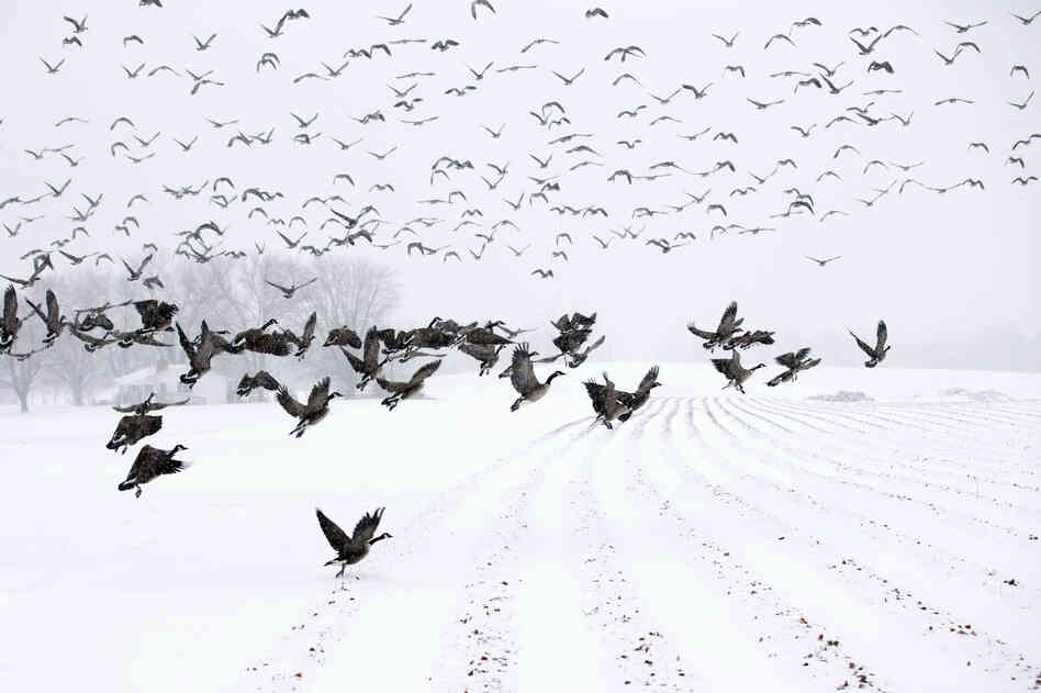 """Canada Geese take flight from a farm field during a snow storm in Davidsonville, Md., on Monday. """"Snow totals so far are generally in the 3-6 inch range,"""" the Washington Post's Capital Weather Gang blog says, and it's likely only an inch or so more will fall in coming hours."""
