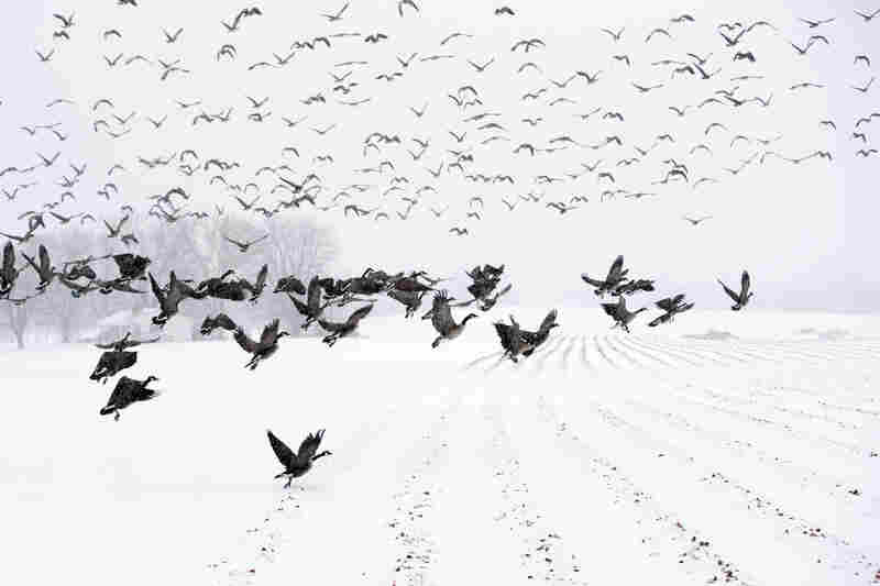 "Canada Geese take flight from a farm field during a snow storm in Davidsonville, Md., on Monday. ""Snow totals so far are generally in the 3-6 inch range,"" the Washington Post's Capital Weather Gang blog says, and it's likely only an inch or so more will fall in coming hours."
