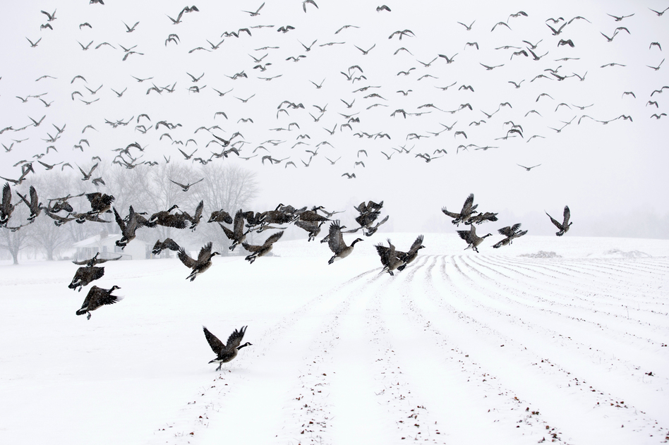 "Canada Geese take flight from a farm field during a snow storm in Davidsonville, Md., on Monday. ""Snow totals so far are generally in the 3-6 inch range,"" the Washington Post's Capital Weather Gang blog says, and it's likely only an inch or so more will fall in coming hours. (AP)"