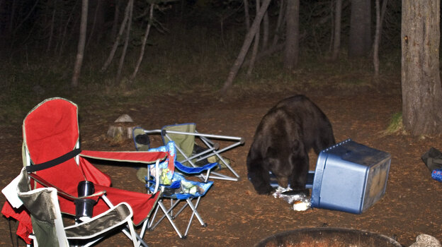 Not as cute as Yogi's pic-a-nic thievery: Food left out at a campsite in Yosemite National Park is likely to attract bears like this one, seen scavenging at Tuolumne Meadows Campground in 2008.