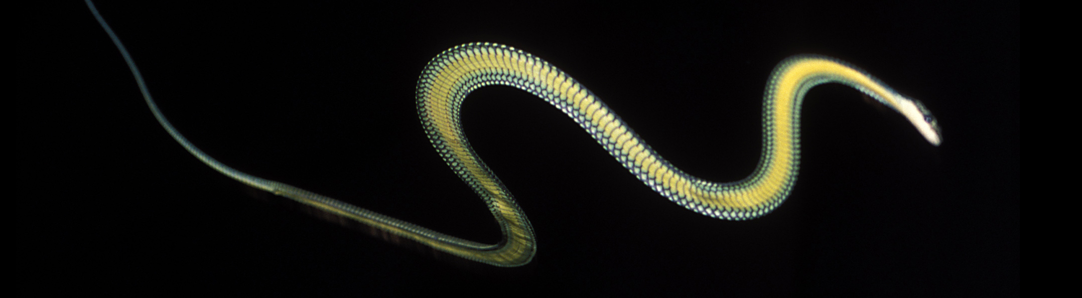 The Elegant Secrets Of Flying Snakes