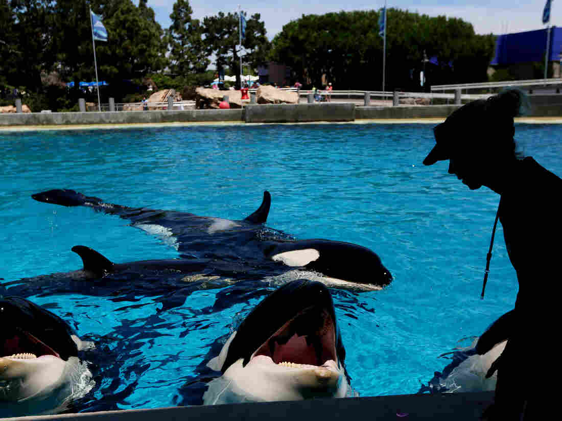 A trainer feeds killer whales ice chunks in a tank at SeaWorld in San Diego in this undated photo.