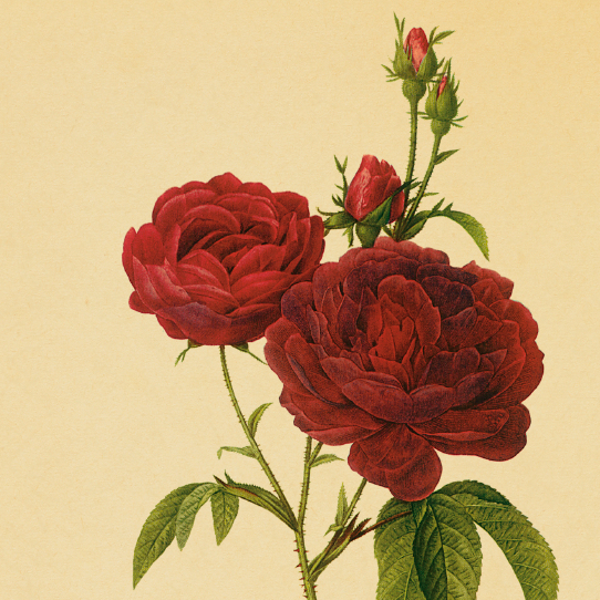 Antique illustration of a bishop rose.