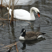 The latest move to eradicate invasive species has put the mute swan in the cross hairs in New York.