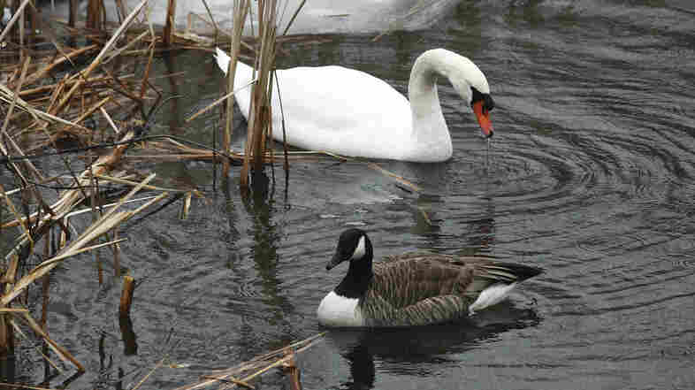 A Plan To Eliminate Wild Mute Swans Draws Vocal Opposition