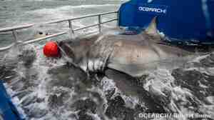 """""""Lydia"""" shortly before a tracking device was attached to her last year near Jacksonville, Fla."""