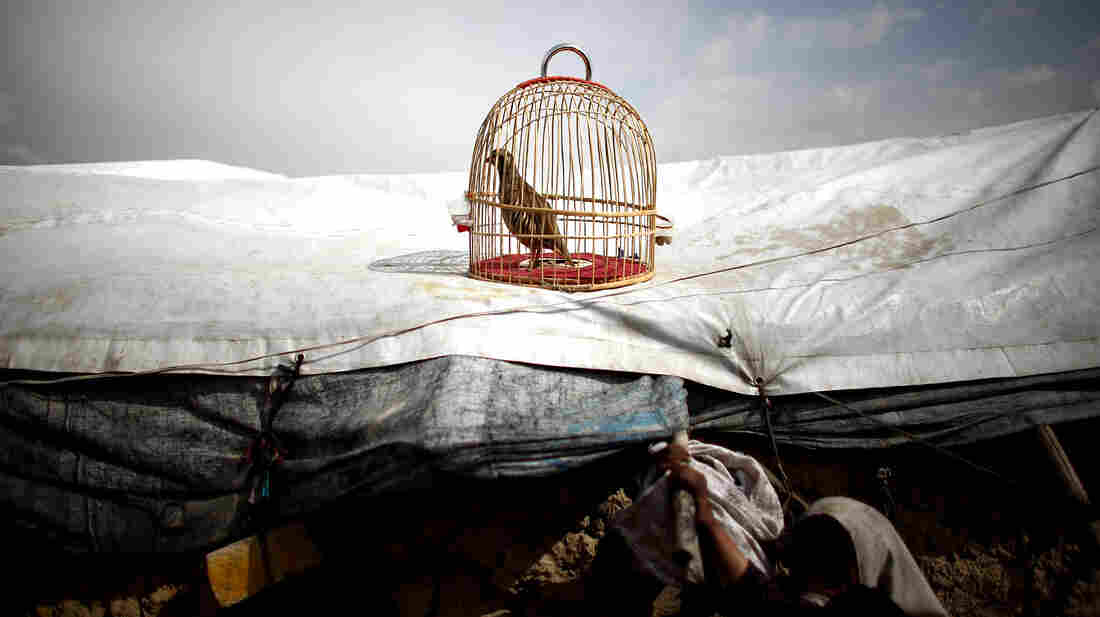 A fighting quail sits in its cage on the plastic roof of a refugee tent in the Nasaji Bagrami camp.