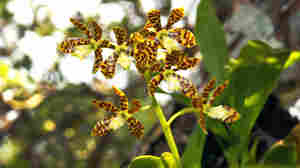 The dollar orchid (Prosthechea boothiana) is among the native species soon to be planted in South Florida trees.