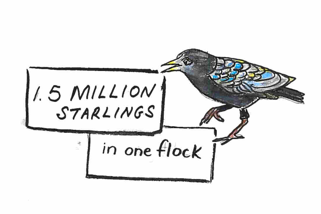 Imagine 1.5 million starlings in one flock.