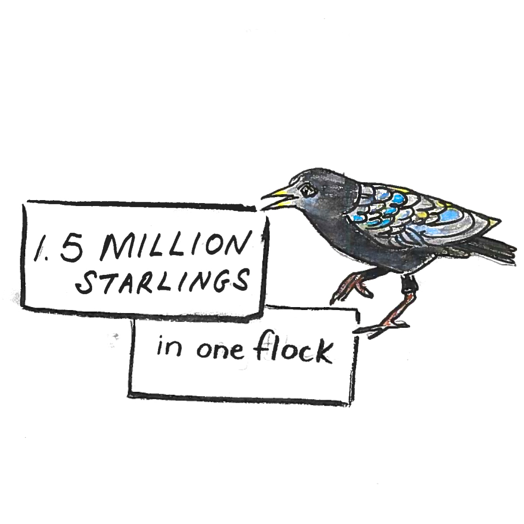 Imagine 1.5 million starlings in one flock.