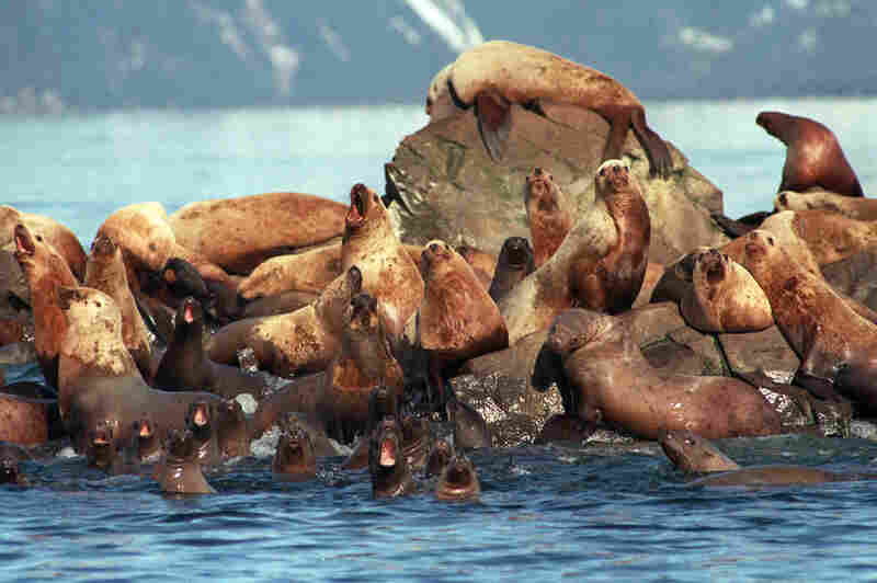Sea lions, many slicked with oil, about 50 miles from the grounded tanker. Sea otters, deer, eagles, owls and many other animals and birds were injured or died after the spill.