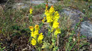 A tall, rubbery weed with golden flowers Dalmatian toadflax is encroaching on grasslands in 32 U.S. states.