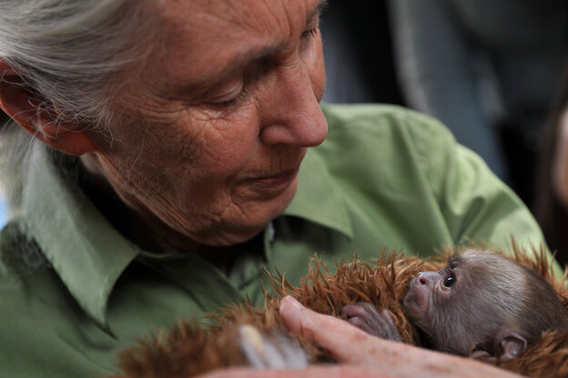 Jane Goodall holds a baby Cebus capucinus monkey during a 2013 visit to a primate rescue center in Chile.