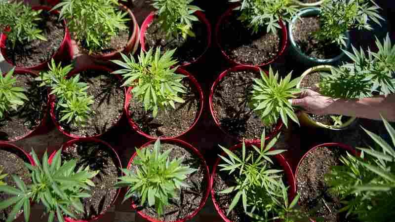 Marijuana plants grow at a farm near Medellin. Tony Dokoupil's father made hundreds of thousands of dollars smuggling marijuana into the U.S. from Colombia.
