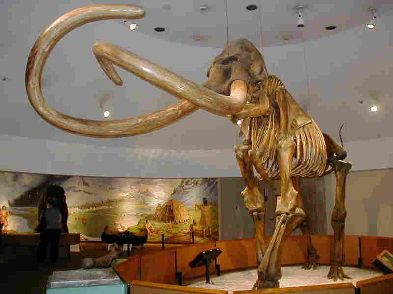 A fossil of a Columbian Mammoth in the Page Museum at the La Brea Tar Pits, Los Angeles.