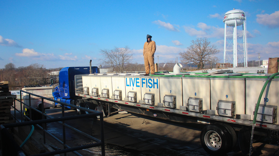 Live tilapia raised by Blue Ridge Aquaculture are loaded into a truck bound for New York. (NPR)