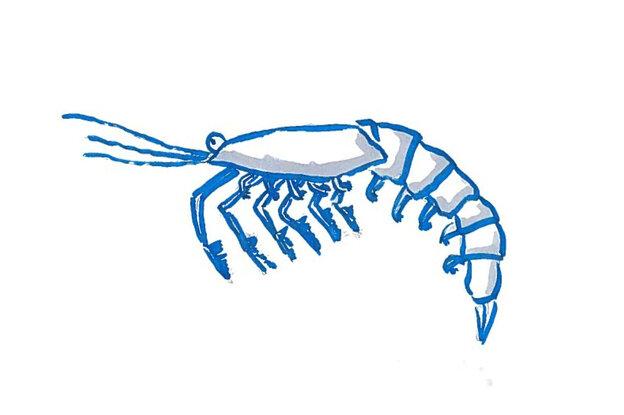A krill.