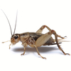 Brown cricket isolated on a white background.