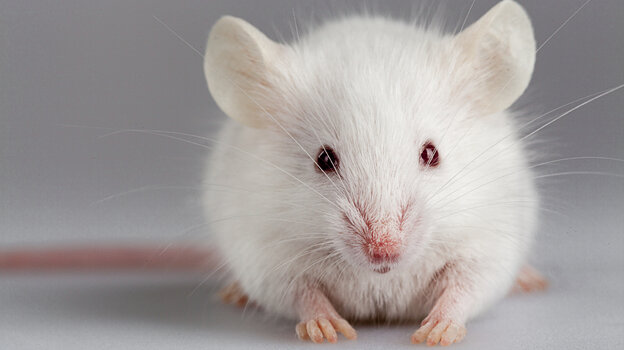 I'm not trying to lead you astray. It's just that scientists are not skeptical enough about their mouse studies.