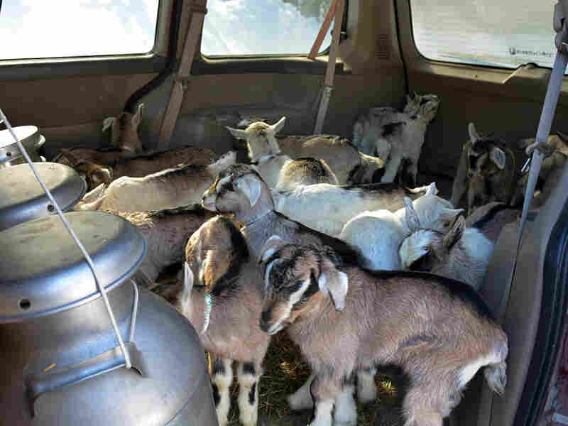 The kids take a ride in a minivan with large barrels full of their mothers' milk, to get them started on the milking apparatus at the Vermont Goat Collaborative's Pine Island Farm.