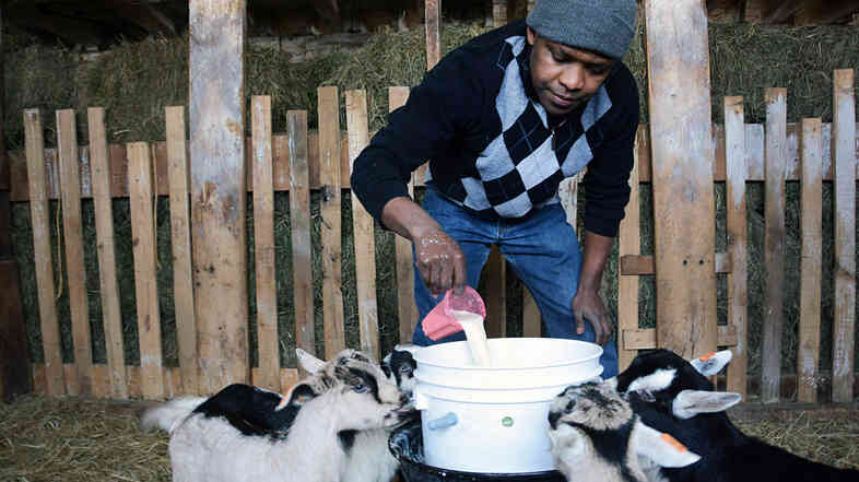 Theoneste Rwayitare, a Rwandan refugee who was resettled in Vermont last year, pours powdered milk into a bucket for milking at the Vermont Goat Collaborative's Pine Island Farm.