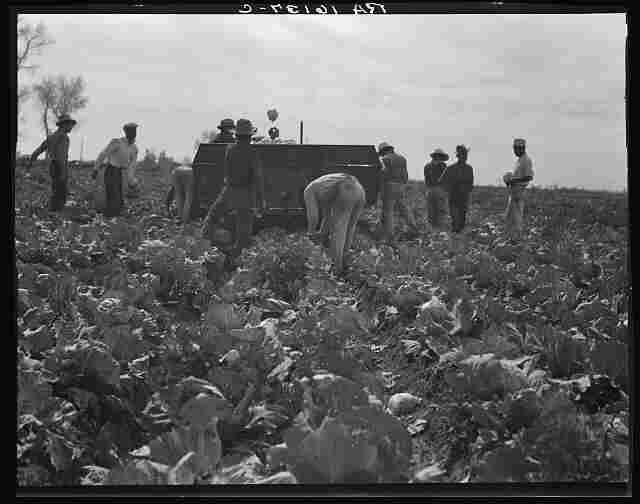 """Workers harvest cabbage in California's Imperial Valley. (1937) Steinbeck writes: """"A man may stand to use a scythe, a plow, a pitchfork; but he must crawl like a bug between the rows of lettuce, he must bend his back and pull his long bag between the cotton rows, he must go on his knees like a penitent across a cauliflower patch."""""""