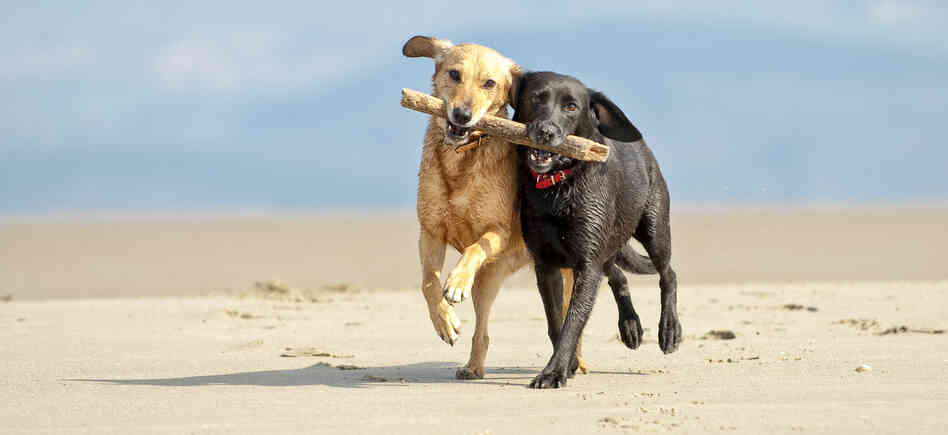 Two dogs run down a beach, both biting the same stick.
