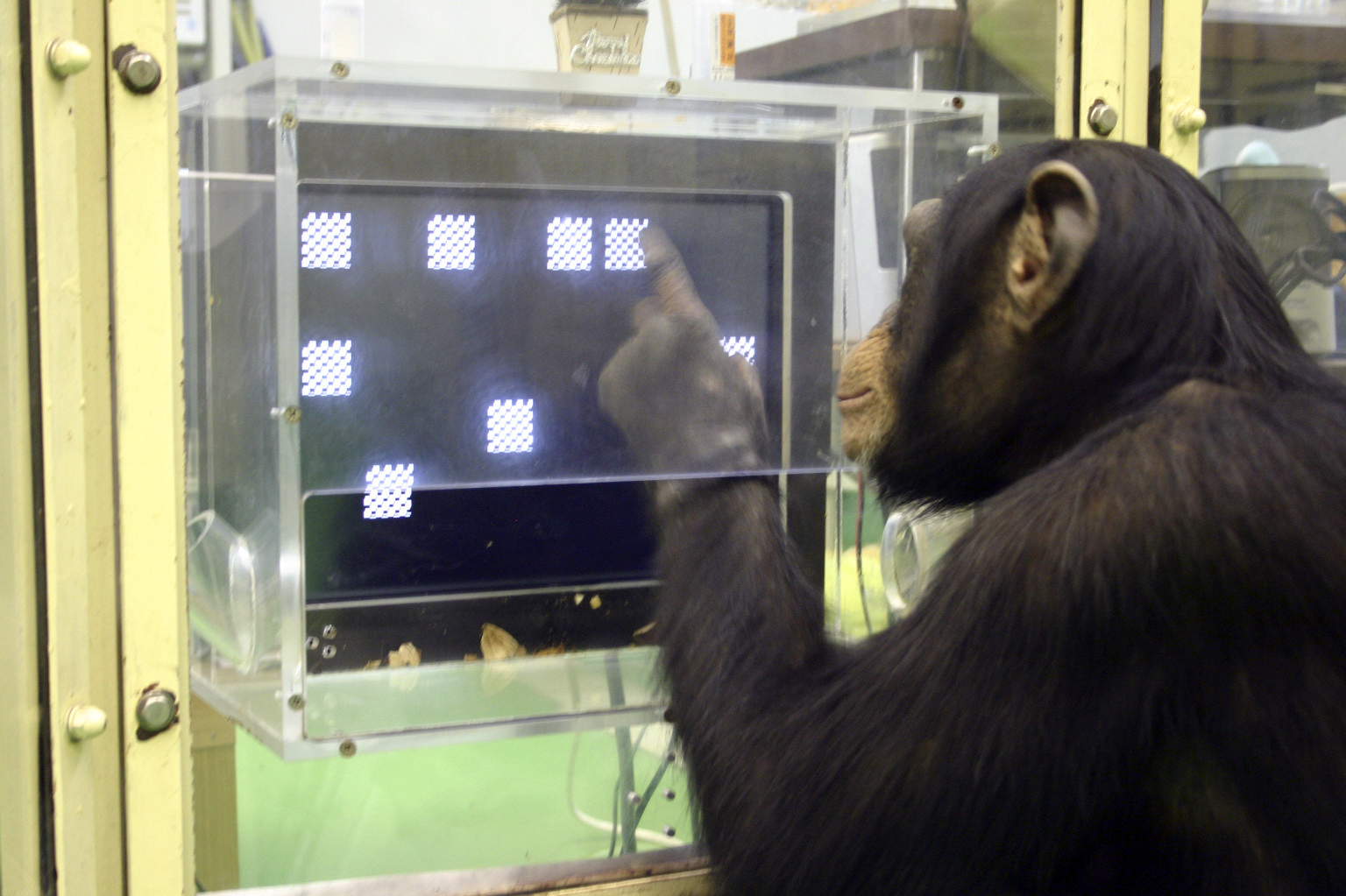 The Ultimate Animal Experience? Losing A Memory Quiz To A Chimp