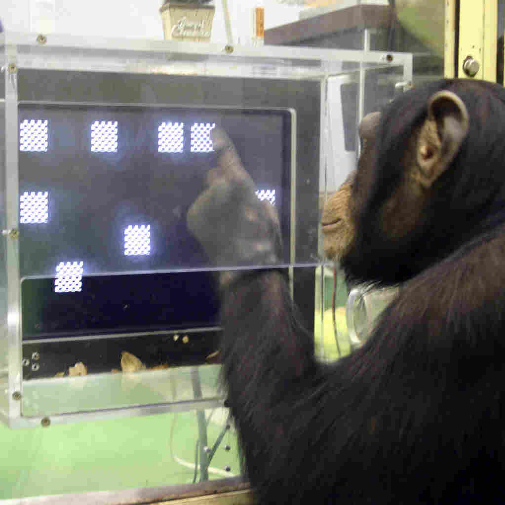 A chimpanzee named Ayumu performs a memory test in which he must recall, in order, the location of numerals that have changed to squares.