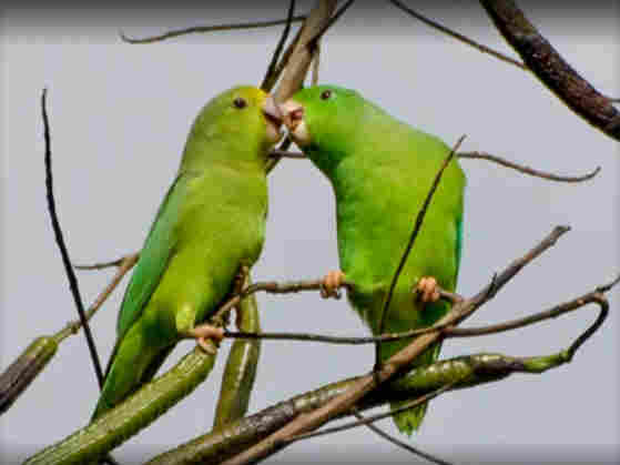 A pair of parrots beak to beak.