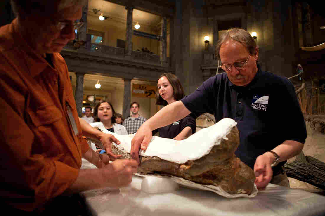 Pat Leiggi (right) of the Museum of the Rockies prepares to move a leg bone of the T. rex at the Smithsonian's Natural History Museum in Washington, D.C., on Tuesday.