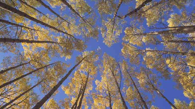 Looking up to the blue sky through a stand of golden Aspen trees.