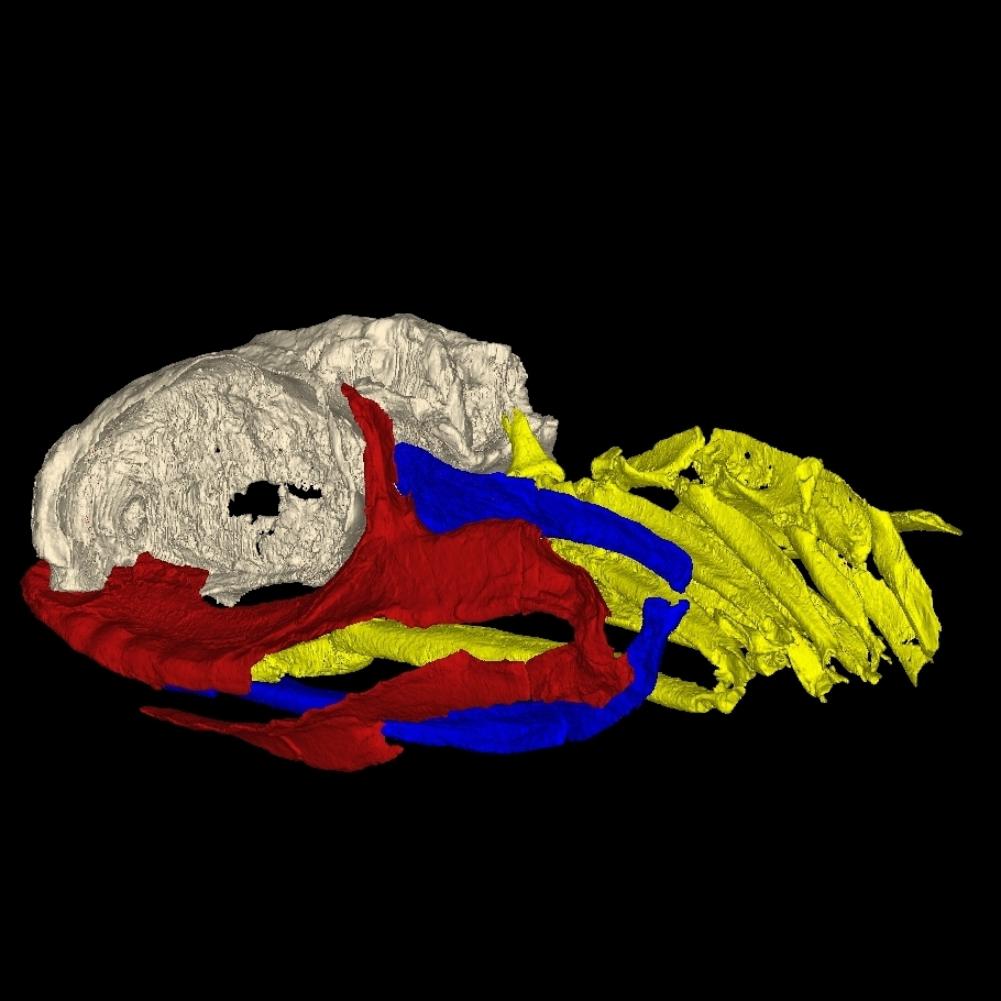 A 3-D reconstruction of the skull of a 325 million-year-old shark. The brain case is light gray, the jaw is red, and the gill arches are yellow. The skull shows that modern sharks have evolved significantly from their ancient relatives.