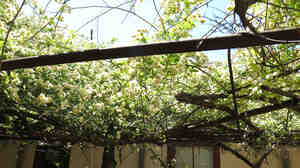 The world's largest rosebush, according to Guinness World Records, is in Tombstone, Ariz., and covers 9,000 square feet.