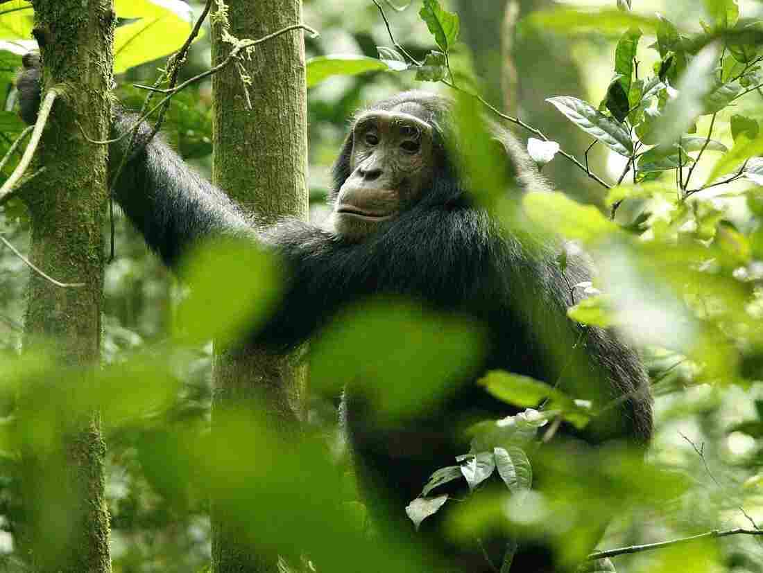 A chimpanzee hangs from a tree trunk in Kibale National Park in Uganda. A new study indicates that chimps prefer a specific tree for sleeping.