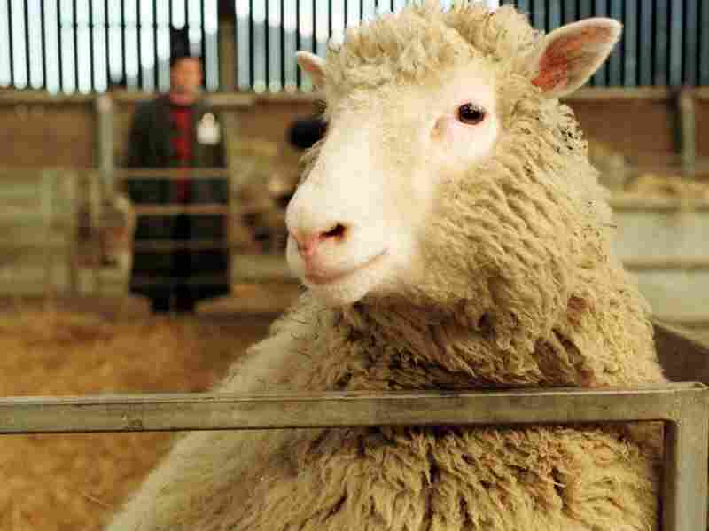 Dolly, the first mammal to be genetically cloned from adult cells, poses for the camera in 1997 at the Roslin Institute in Edinburgh, Scotland.