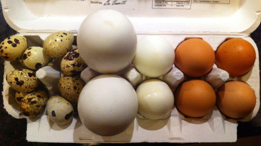 Mallard Duck Eggs Size