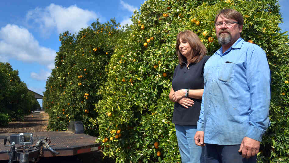 Recent rains kept Suzanne and Mike Collins' orange grove alive, but the rainy season is ending. If they don't get federal irrigation water by