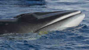 "A minke whale photographed in Antarctica last year. The minke, smallest of the baleen whales, turned out to be the mysterious ""bio-duck."""