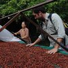 Vincent Mourou, co-founder of Vietnam's first artisan chocolate maker Marou, inspects cacao beans at a farmer's garden in Go Cong Tay district.