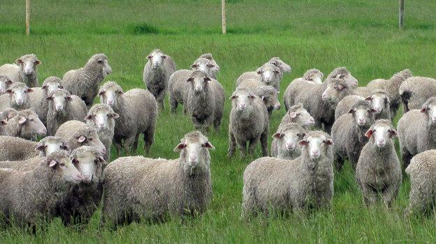 Sheep in Tasmania