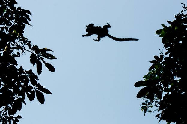 A wild marmoset (not in the study written about here) jumps between trees in Rio de Janeiro, Brazil, on August 22, 2013.