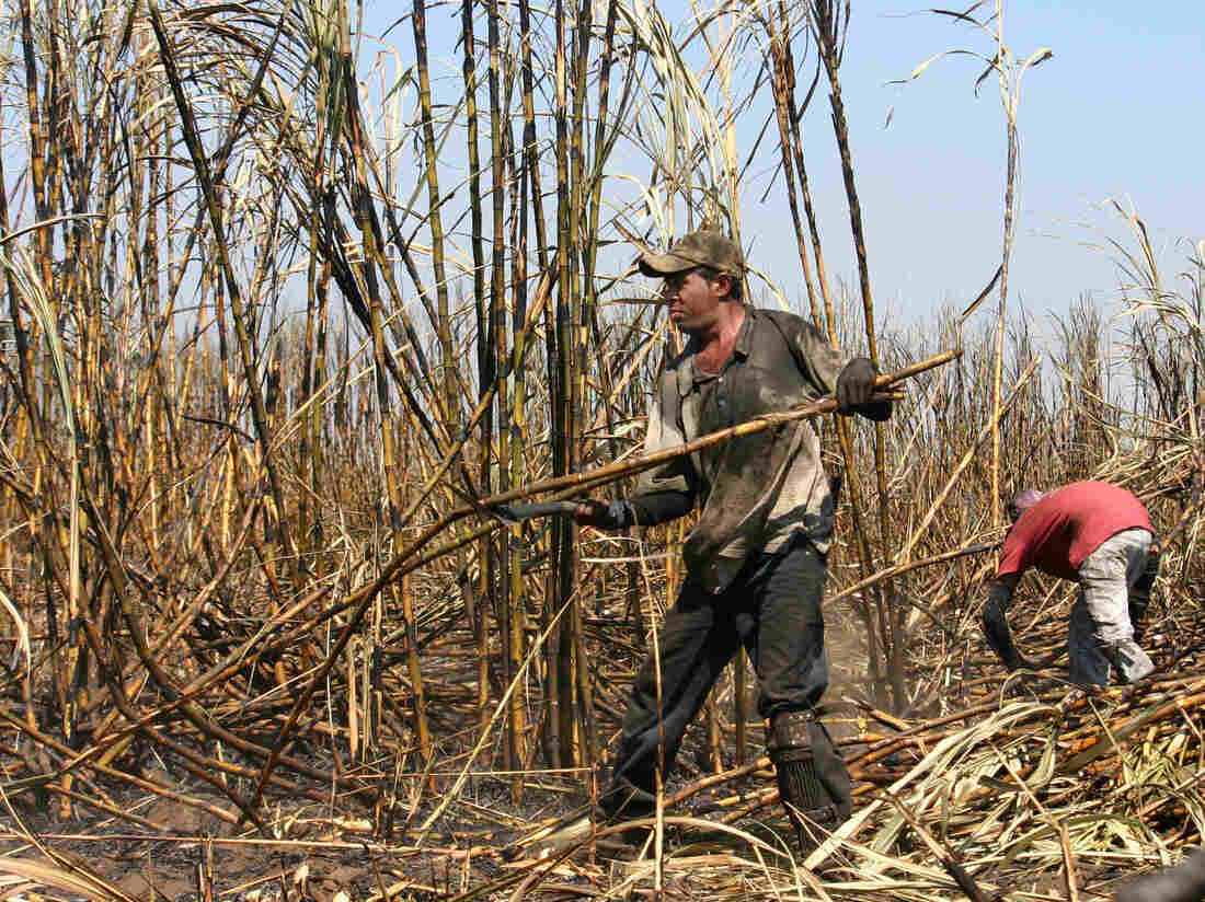 A farmworker harvests sugar cane in a field near Chichigalpa, Nicaragua.